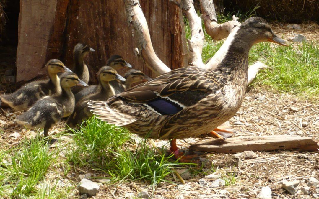 Terra Natura aumenta su familia de aves con el nacimiento de 15 crías de patos